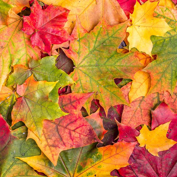 Fall leaves in colors by Columbus Ohio landscaping company